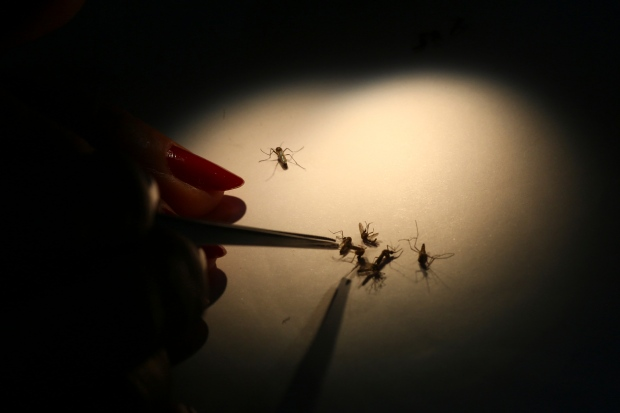Mosquitoes infected with Wolbachia
