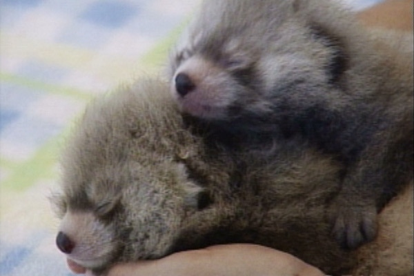 Baby red pandas Tai and Pip made their first public appearance Thursday at Edmonton's Valley Zoo.