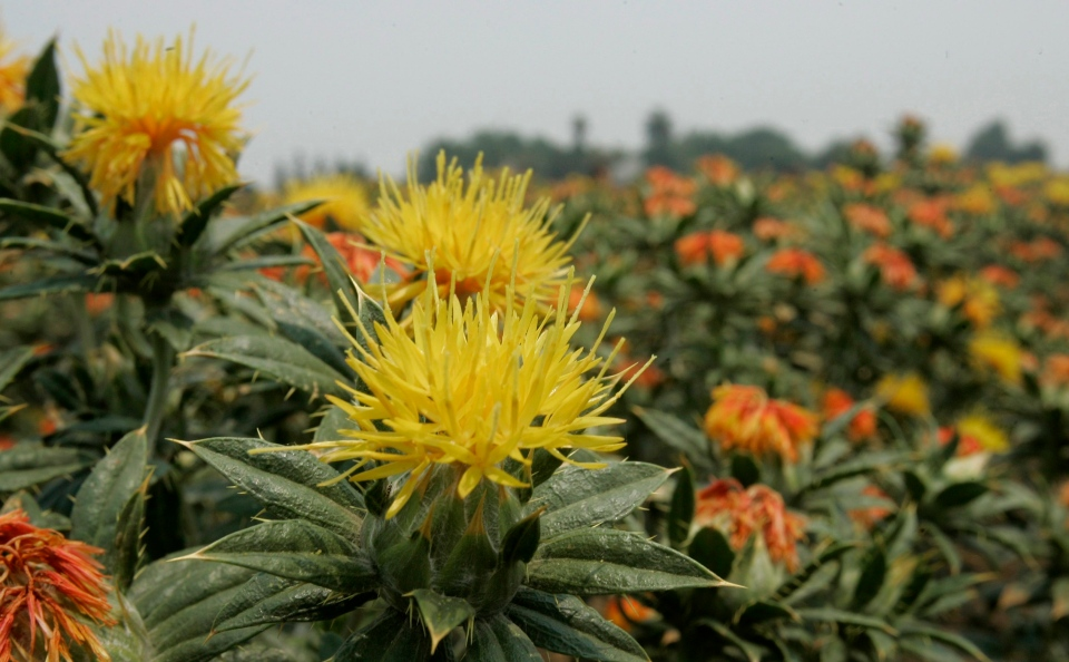 Safflower plants are seen in a field near Woodland, Calif., Tuesday, June 24, 2008. (AP / Rich Pedroncelli)