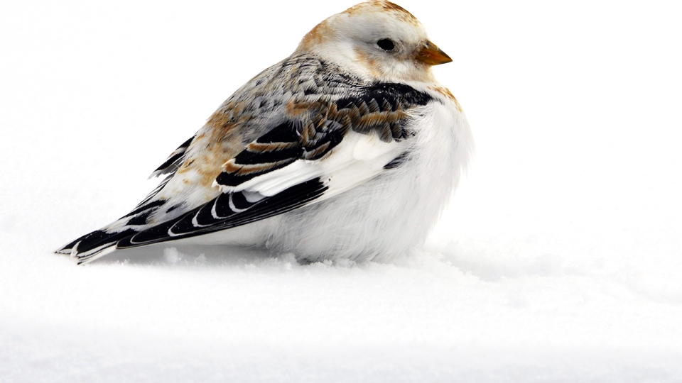 A bird stands in snow after the first snowfall of the season near Kapuskasing, Ont., Monday, Nov. 11, 2013. (Linda McBride / MyNews)
