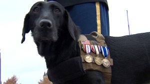 File -  Sgt. Rey, a bomb-sniffing dog who served in Iraq and Afghanistan, appears on Power Play on Nov. 11, 2013.