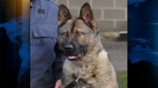 A police service dog, Bo, was killed in a collision in Richmond, B.C. early Tuesday morning. July 12, 2011. (Handout)