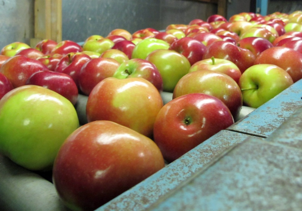 In this Nov. 7, 2013 photo apples moving along a conveyor line at the King Orchards production warehouse in Central Lake, Mich. (AP / John Flesher)