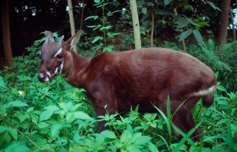 A saola, one of the rarest and most threatened mammals on earth, pauses in the jungle of Vietnam. (WWF)