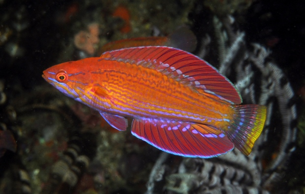New fish of flasher wrasse species discovered in indonesias coral new fish discovered in indonesias coral reefs sciox Images