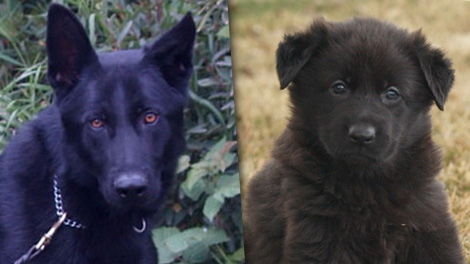 """Police service dog """"Bear"""" is seen in this pair of RCMP handout photos. The two-year-old died late Tuesday night while chasing a home invasion suspect."""