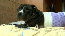 Pitbull saves owner's life