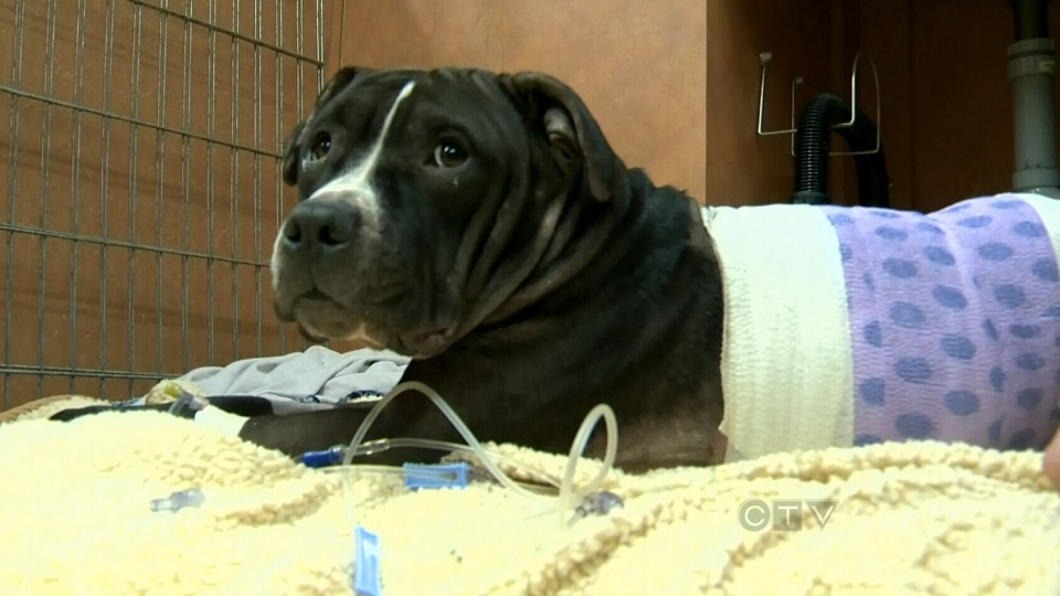 A pitbull is being credited with saving her owner's life during a violent home invasion.