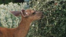Oak Bay cull