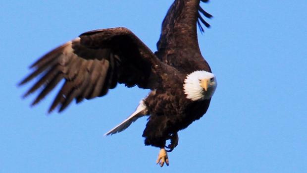 Eagle Webcam Vancouver Island