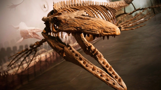 Bruce the Mosasaur, which was found just outside Morden, Man., in a farmer's field, is on display at Canadian Fossil Discovery Centre in Morden on Wednesday May 20, 2009. (John Woods / THE CANADIAN PRESS)