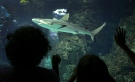 """People looks at a grey reef shark at the exhibition """"Sharks"""" in the Oceanography museum in Monaco, Thursday, June 27, 2013. This exhibition is displayed for a period of 2 years.(AP / Lionel Cironneau)"""