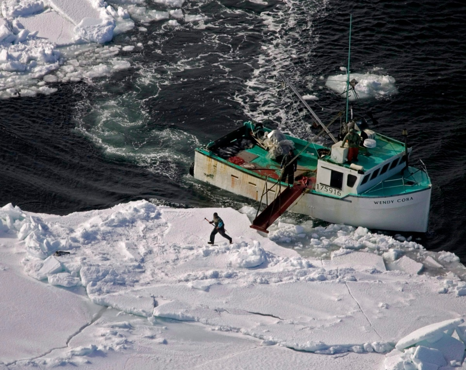 A hunter heads towards a harp seal during the annual East Coast seal hunt in the southern Gulf of St. Lawrence around Quebec's Iles de la Madeleine on March 25, 2009. (Andrew Vaughan / THE CANADIAN PRESS)