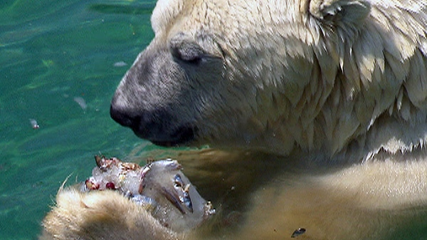 A polar bear tries to beat the heat by snacking on fish frozen in a block of ice at the Toronto Zoo on Wednesday, July 20, 2011.