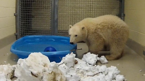 Kaska the polar bear cub