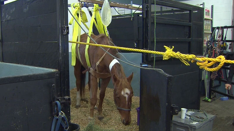 One of the horses seized by the SPCA had to be placed in a makeshift sling to stand. Nov. 26, 2013. (CTV)