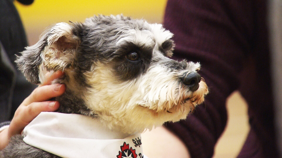 Therapy dog at Ryerson University.