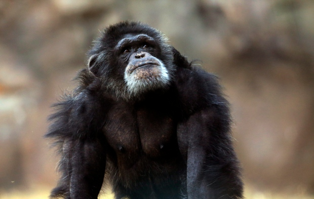 CTV News Channel: Liberty for chimpanzees