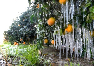 Icicles hang off oranges as growers use water to help keep the orchard warm during freezing weather on Thursday, Dec. 5, 2013, in Del Rey, Calif.  (AP Photo/The Fresno Bee, MARK CROSSE)