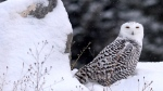 An undated photo shows a snowy owl in Montana. (AP Photo/The Missoulian,Michael Gallacher )