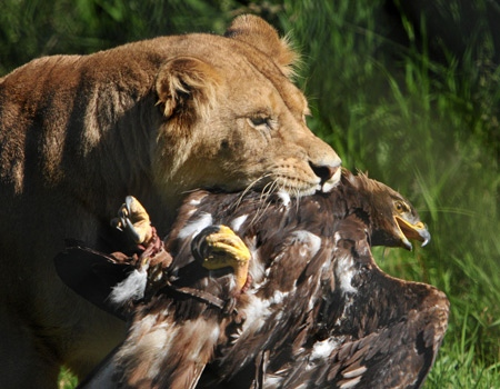 A lion holds an eagle in its jaws at the Greater Vancouver Zoo on Friday, June 27, 2008. (Pablo Su for CTV British Columbia.)
