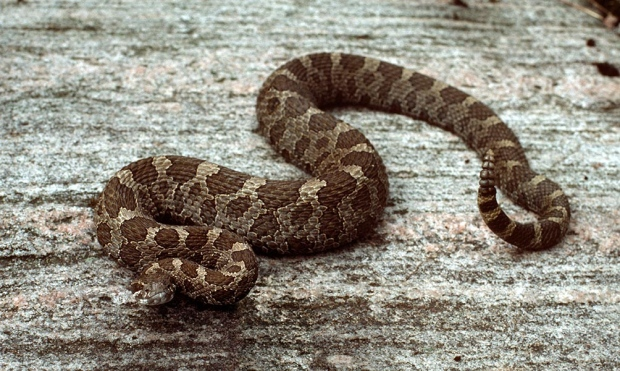 Snake Bites Florida Man Who Tries to Kiss it