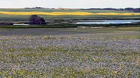 Flax is currently a crop that grows mainly on the southern prairies. Prices for it remain good, and researchers want to extend its range into the central and northern grain belt.