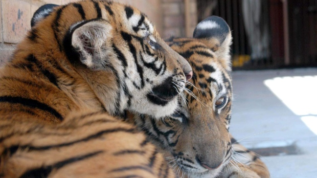 In this Sept. 2, 2003 file photo, two South China tiger cubs of the Gonggong breed, Hope, left, and Cathay, right, are seen in the zoo at Pretoria, South Africa. (AP Photo/Patricia Hagen, File)