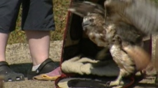 An injured red-tailed hawk, now rehabilitated, was released back into the wild on Wednesday, Aug. 10, 2011.