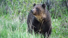 A female grizzly bear is shown in a handout photo. Some of the world's foremost bear experts will gather in Banff next month to come up with new and better ways to cut down the number of grizzly bears that are killed along Canadian Pacific railway tracks in Banff National Park. (THE CANADIAN PRESS/HO-Parks Canada-Steve Michel)