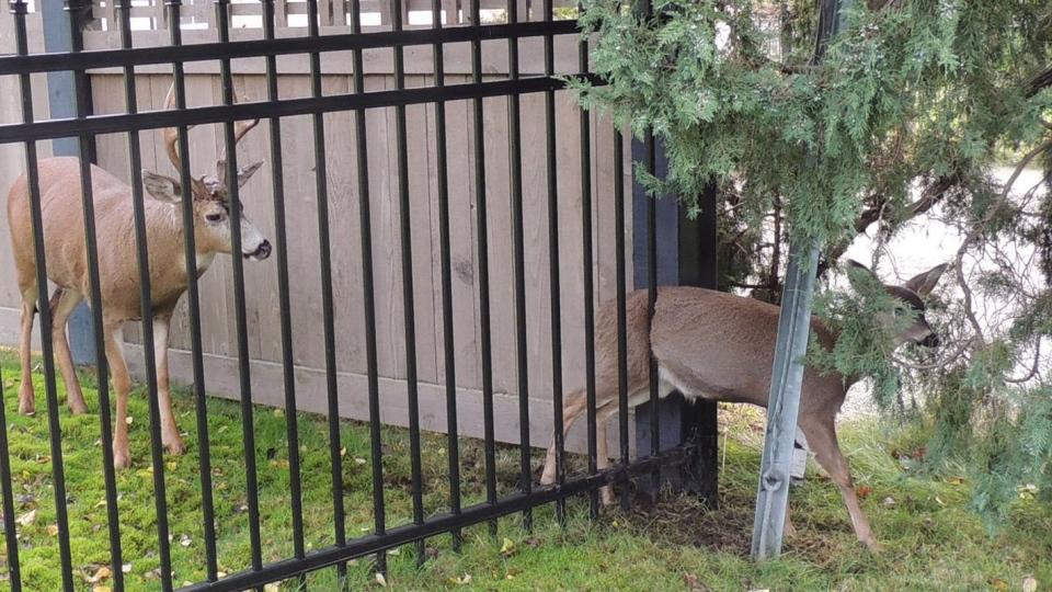 Deer Culls Loom In B C As Politicians Target Urban Bucks