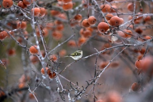 Warbler in apple tree (Neil Brazier/MyNews)