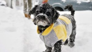 Snow sticks to Nikko's fur and sweater as the 10-year-old Havanese dog plays in the snow with his owner, Laurie Edwards, at rear, outside their house on Plum Street in Erie, Pa. on Thursday, Jan. 2, 2014. (AP / Erie Times-News, Andy Colwell)