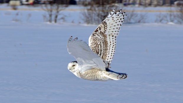 Snowy owl invasion Ontario, U.S.