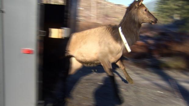 Elk released