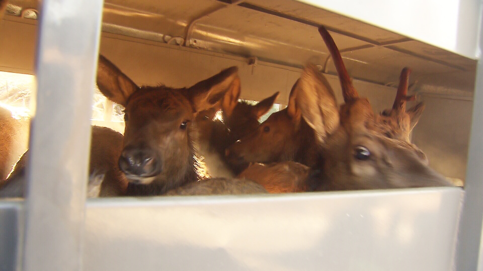 Elk stand in a trailer before being released into the forest west of Harrison Lake Sunday, Jan. 5, 2014. (CTV)