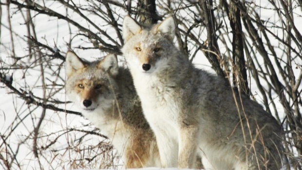 Coyote fears