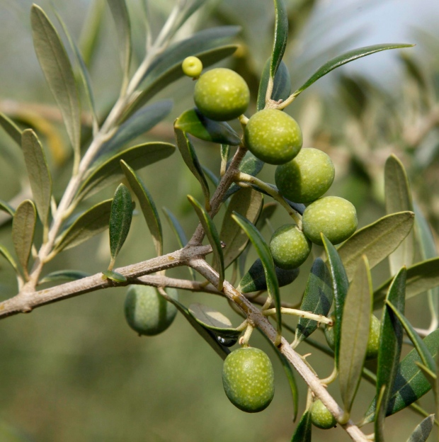 Dates and olives in Sydney