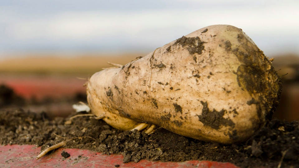 A pulled sugar beet rests on David Kragnes' harvester on his farm outside of Moorhead, Minn. on Monday, Oct. 8, 2012. (Minnesota Public Radio, Nathaniel Minor)