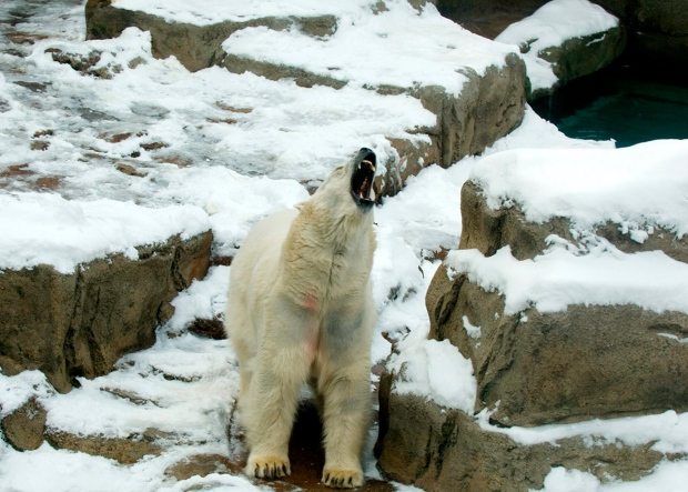 Chicago weather too cold for polar bear