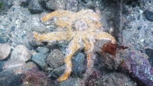 Starfish dying