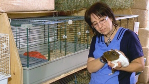 The Jiggley Piggley farm: A decade of guinea pigs