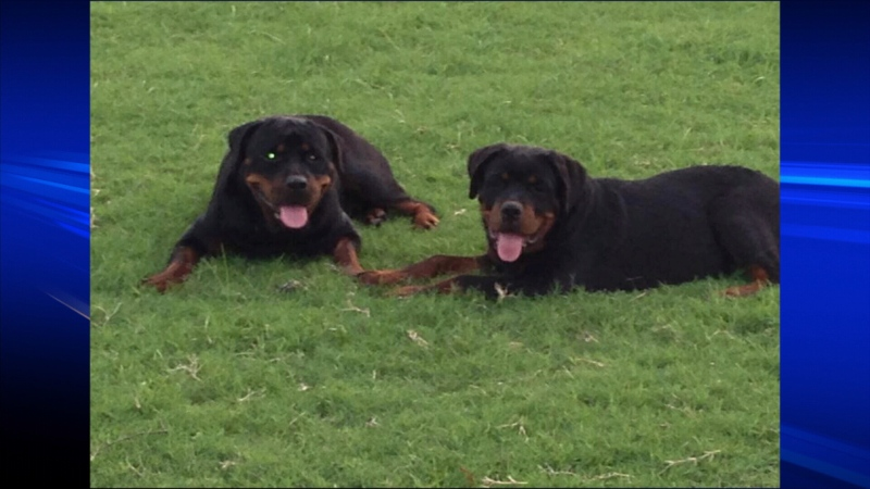 Axel and Paris are facing a death sentence after the two Rottweilers escaped from a Richmond home and Axel bit a nearby construction worker. Jan. 13, 2014. (Handout)
