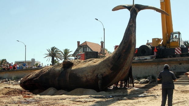 Dead whale found on Uruguay beach