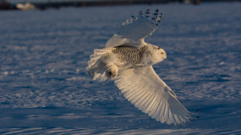 A snowy owl flies over the snow in Ottawa. (Ray Pregent / CTV Viewer)
