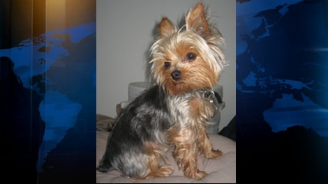 Lakai, a five-year-old Yorkshire Terrier, disappeared from the front of a Gastown store on Tuesday, Aug. 24, 2011. (CTV)