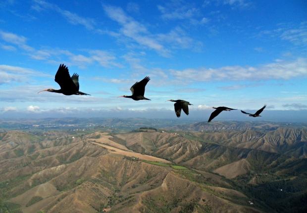 Northern bald ibises