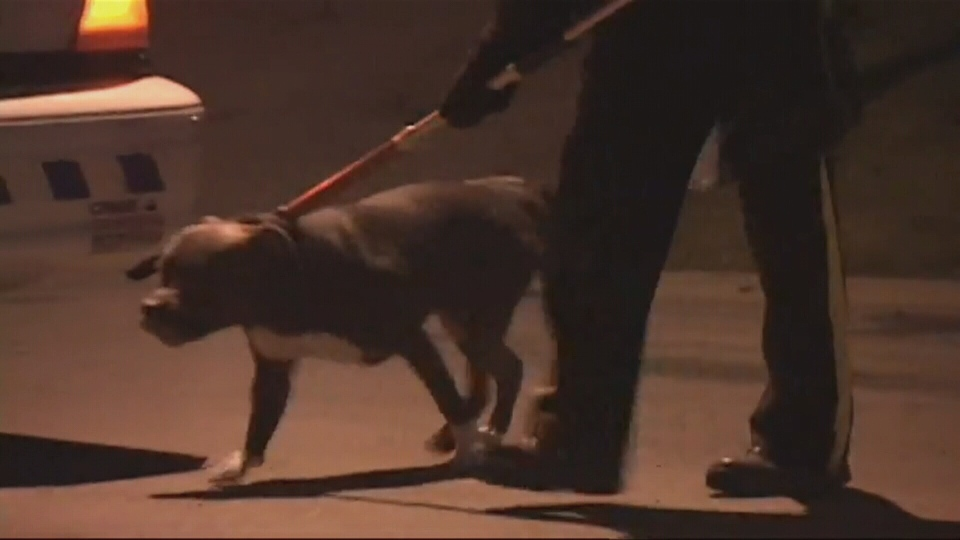Two men were injured after being attacked by this pit bull Saturday, Jan. 18. (CTV)