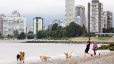 Dogs play on the beach under overcast skies and with cool temperatures in English Bay in Vancouver, Wednesday, July 27, 2011. (Jonathan Hayward / THE CANADIAN PRESS)