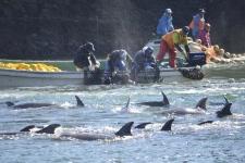 Japan dolphin cull